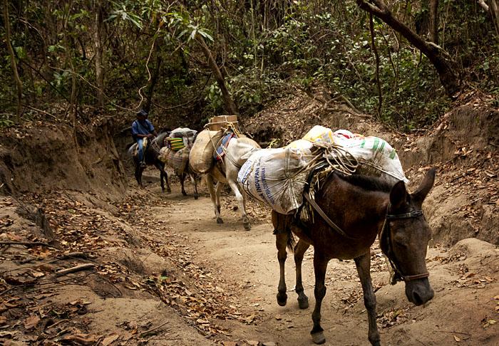Cavalli nella foresta, Colombia