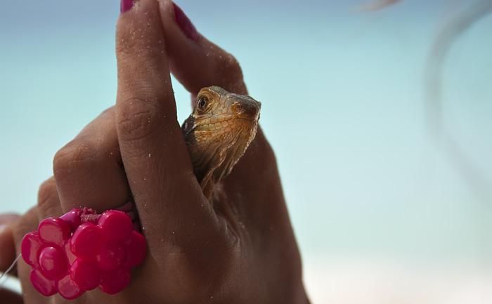 Piccolo iguana
