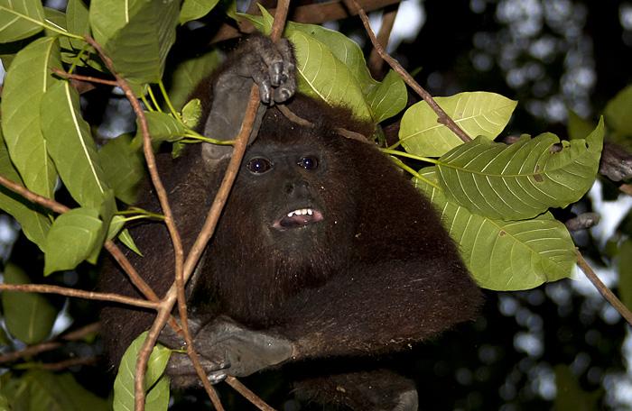 Scimmia, Colombia