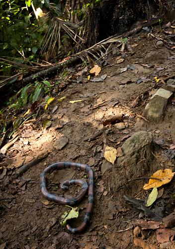 Serpente velenoso