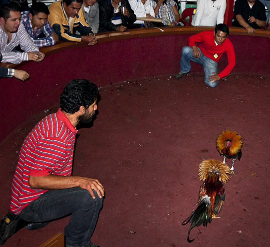 Combattimento di galli in Ecuador