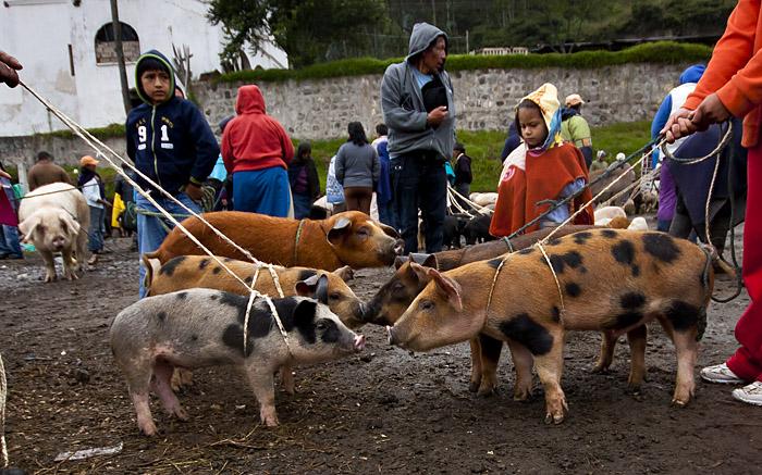 Maiali al mercato, Ecuador