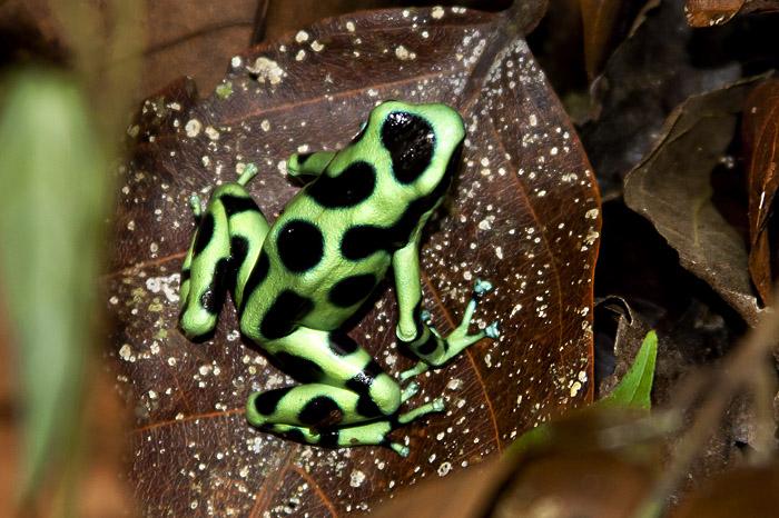 Rana verde velenosa