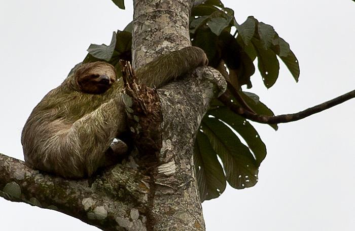 Scimmia, Costa Rica