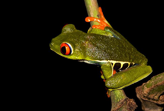 costarican_frog
