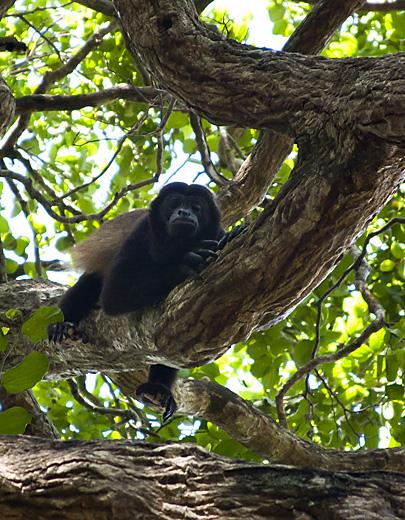 Scimmia a San Juan, Nicaragua